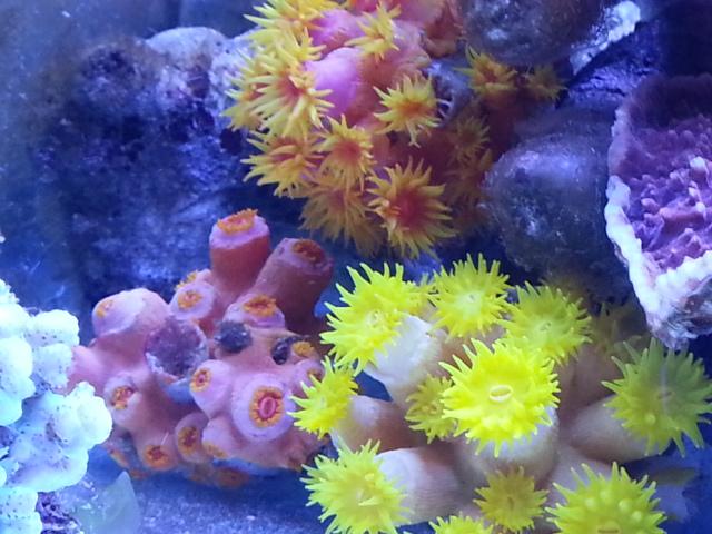 sun coral beslemek.jpg