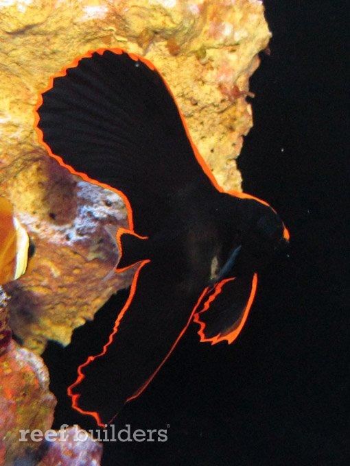 tank-bred-pinnatus-batfish-3.jpg