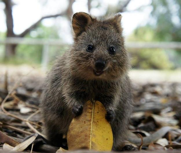 the-quokka.jpg