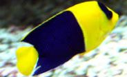Two-colored Angelfish.JPG