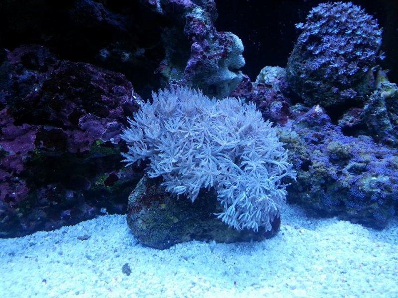 xenia coral-Daisy polyp.jpg