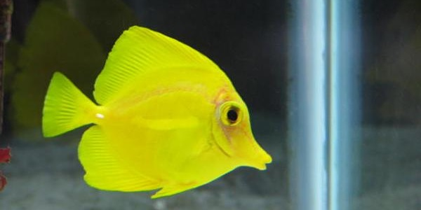 yellow tang hastaliklari.jpg
