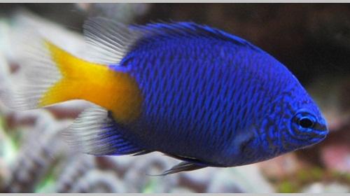 Yellowtail Blue Damsel balıkları.jpg