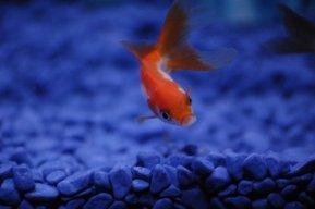 japon-balığı